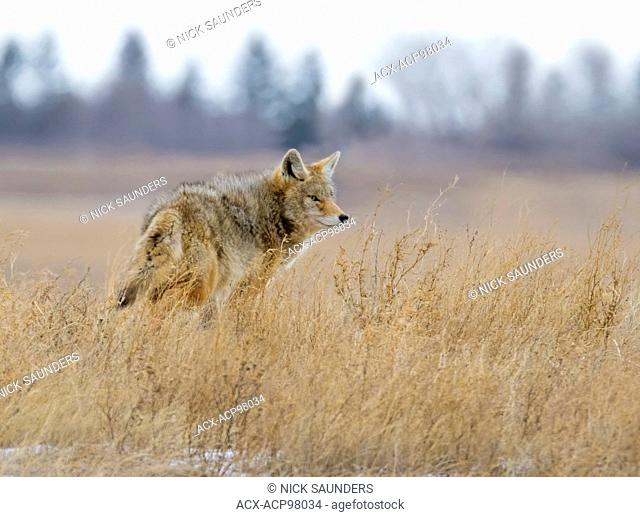 Coyote, Canis latrans, a canid native to North America