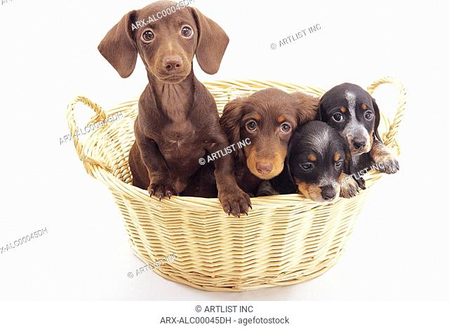 Four puppies in a busket