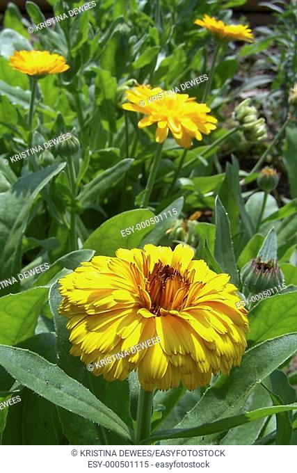 A bunch of multilayered yellow Calendulas