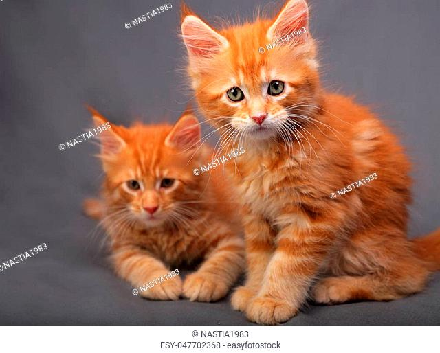 Two adorable red solid maine coon kitten sitting with relaxing look with beautiful brushes on the ears on grey background. closeup portrait