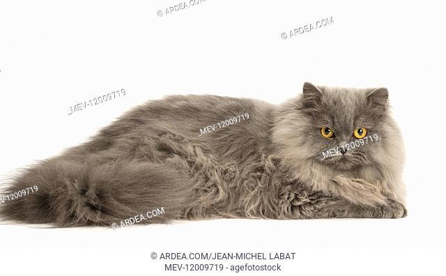 Grey British Longhair cat indoors