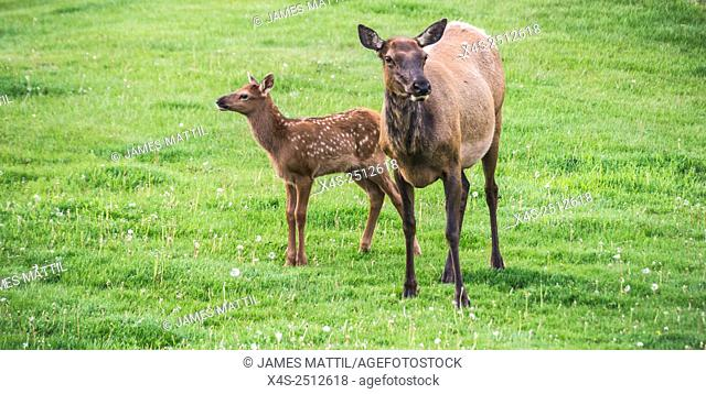 A mother elk with her newborn calf in Yellowstone Park