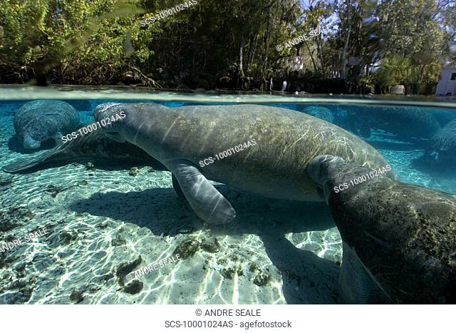 Florida manatee, Trichechus manatus latirostrus, surfaces to breathe, Crystal River, Florida, USA