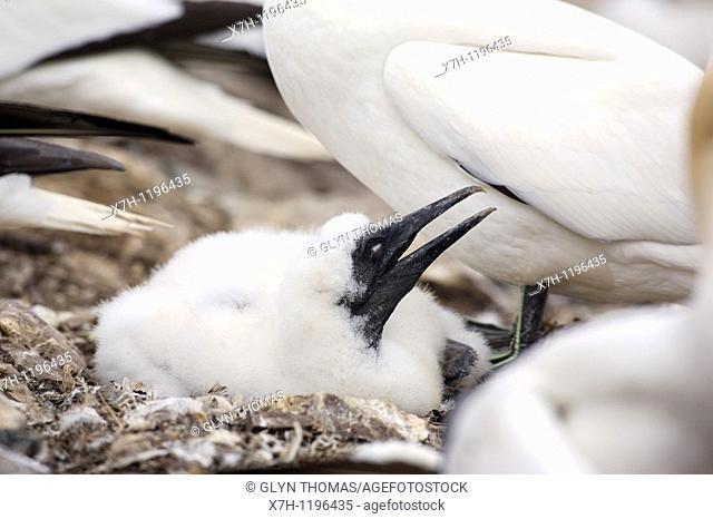 Gannet chick - Morus bassanus