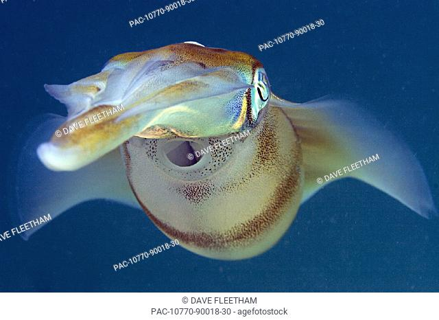 Malaysia, Oval squid (sepioteuthis lessonia), blue ocean