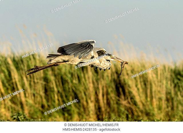 Hungary, Csongrad, Kiskunsagi National Park, Pusztaszer, Grey Heron (Ardea cinerea), in flight