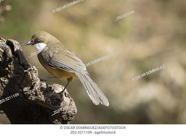 White-throated Laughingthrush (Garrulax albogularis) perched on branch. Pangot. Nainital district. Uttarakhand. India