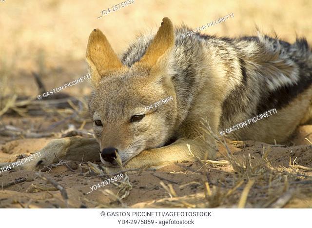 Black-backed Jackal (Canis mesomelas), Kgalagadi Transfrontier Park, Kalahari deser, South Africa
