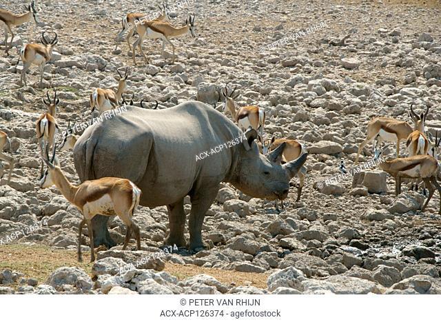 Black Rhinoceros (Diceros Bicornis) surrounded by springbok (Antidorcas) at an Etosha National Park waterhole. Namibia,Africa