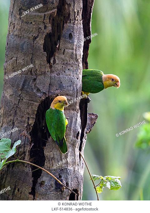 White-bellied Parrots in rainforest, Pionites leucogaster xanthomeria, Tambopata National Reserve, Peru, South America