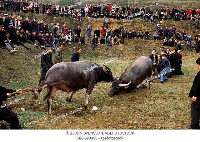 Water Buffalo fighting near Kaili, Guizhou, China