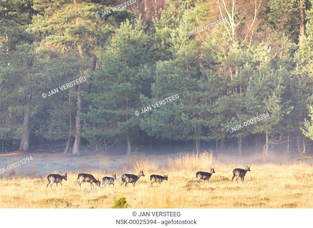 Group of Fallow Deer (Dama dama) walking through a sunlit field of Purple Moor-grass (Molinia caerulea) and Moss with a coniferous forest in the background