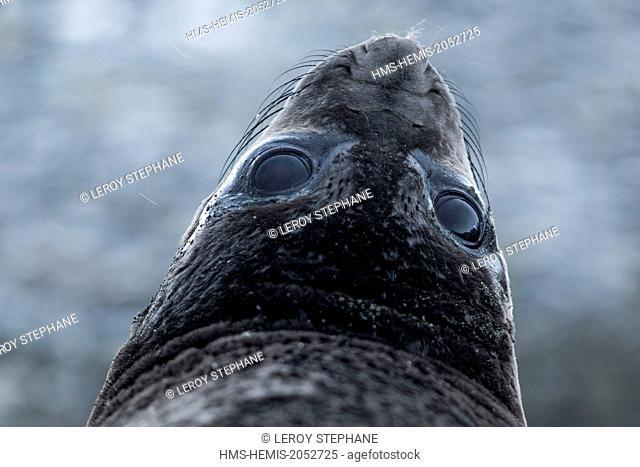 South Atlantic Ocean, South Georgia Island, elephant seal (Mirounga leonina), female