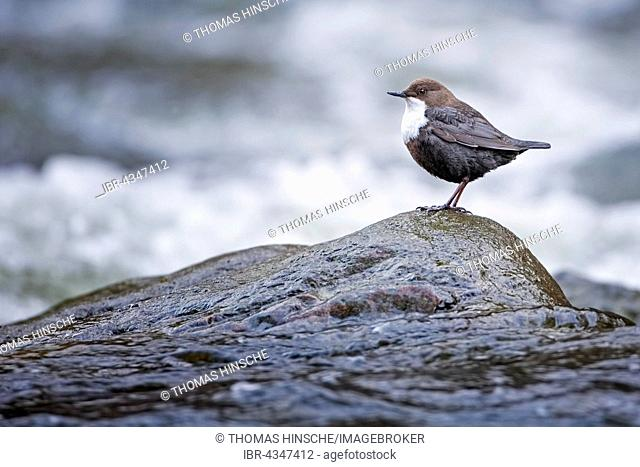 White-throated Dipper (Cinclus cinclus) standing on stone in water, Harz National Park, Saxony-Anhalt, Germany