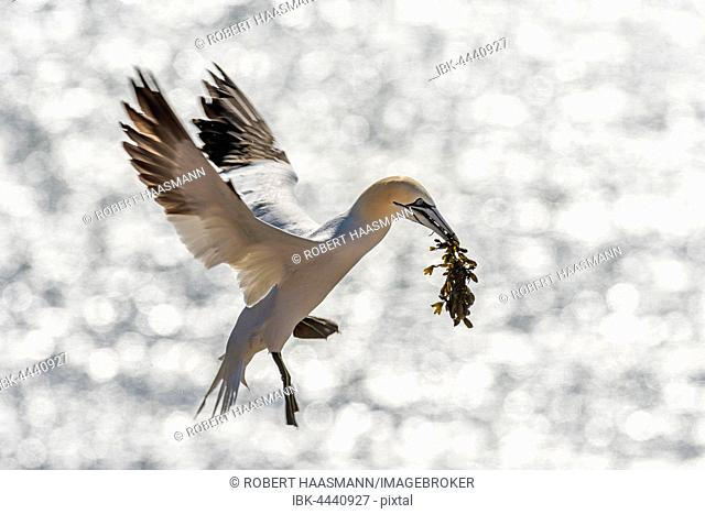 Northern gannet (Morus bassanus) in flight with nesting material, backlight, Heligoland, Schleswig-Holstein, Germany