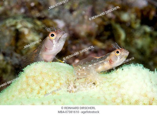 Browncheek Blenny, Acanthemblemaria crockeri, La Paz, Baja California Sur, Mexico