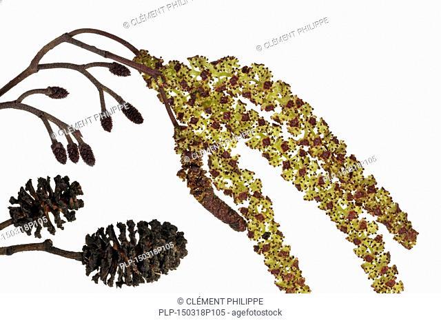 Black Alder / European Alder / Common Alder (Alnus glutinosa) male catkins and female inflorescences against white background in spring