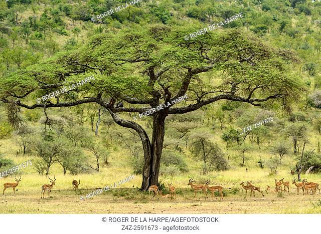 Impala (Aepyceros melampus) feeding under a Umbrella thorn acacia, also known as umbrella thorn and Israeli babool (Vachellia tortilis, prev Acacia tortilis)