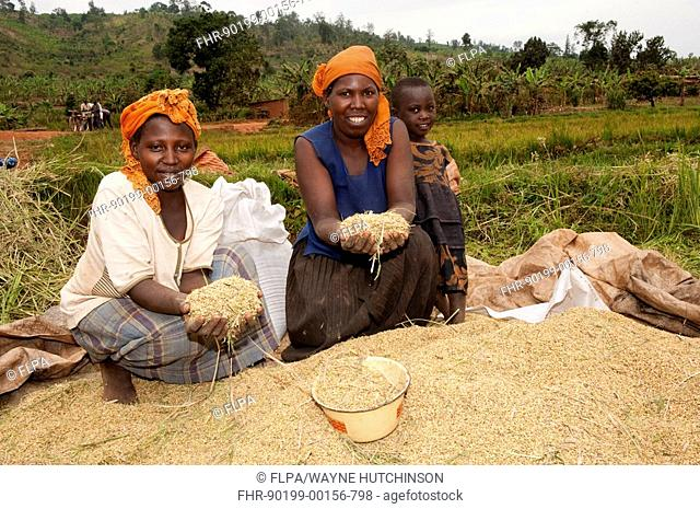 Rice Oryza sativa crop, woman in paddyfield with newly harvested and threshed grain, Rwanda