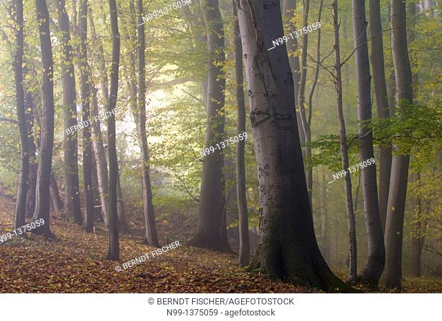 Beech forest in autumn, fog in the morning, Bavaria, Germany