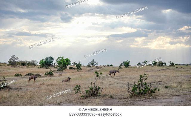 Beautiful Herd in the nature of Masai mara ,kenya, africa