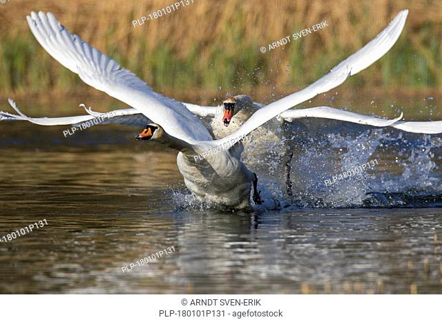 Territorial mute swan (Cygnus olor) male chasing away young swan swimming in lake in spring