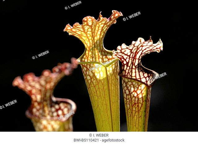 White Trumpet (Sarracenia leucophylla), funnel leaves