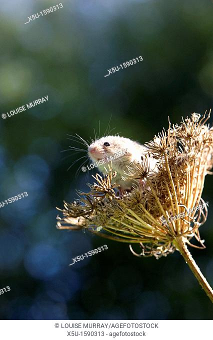 Harvest mouse, the smallest British rodent weighs between 5 and 11 grammes  Unusually they have prehensile tails to help them climb  Present throughout Europe...