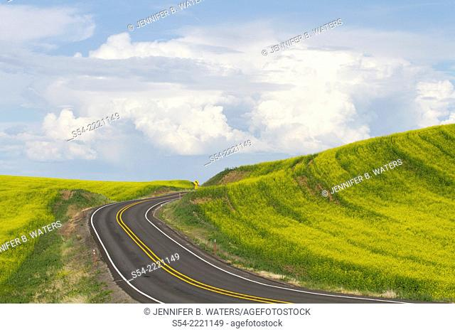 A road through a Canola field in Eastern Washington, USA. Brassica napus