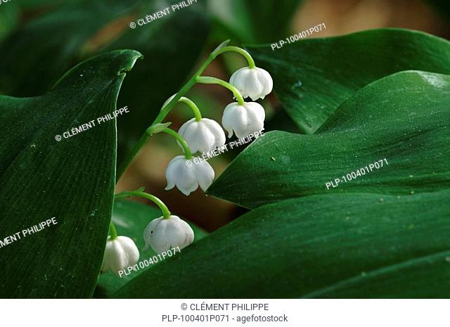 Lily of the Valley / Lily-of-the-Valley Convallaria majalis, Belgium