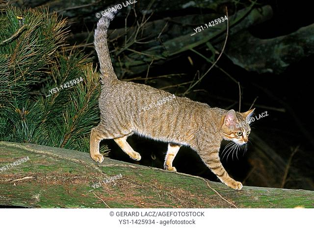 AFRICAN WILDCAT felis silvestris lybica, ADULT WALKING ON BRANCH