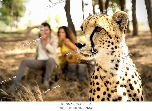 South Africa, portrait of a cheetah in front of two people photographing