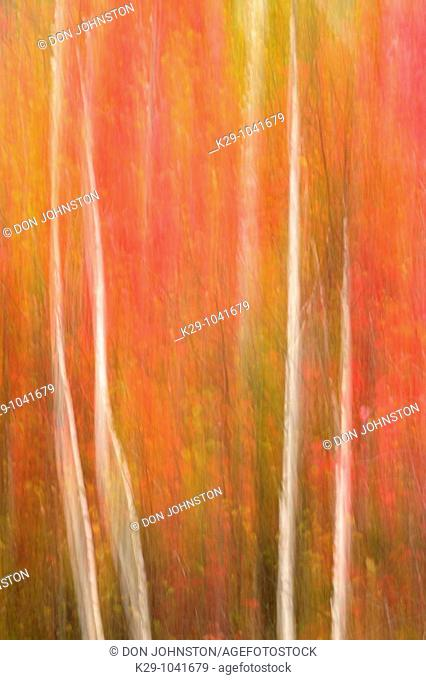 Birch tree trunks and maple trees in autumn camera movement