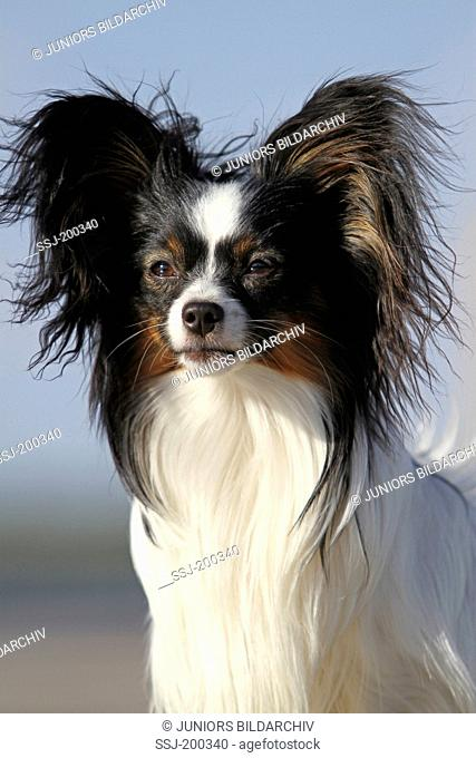 Papillon, Continental Toy Spaniel. Portrait of adult dog. Germany