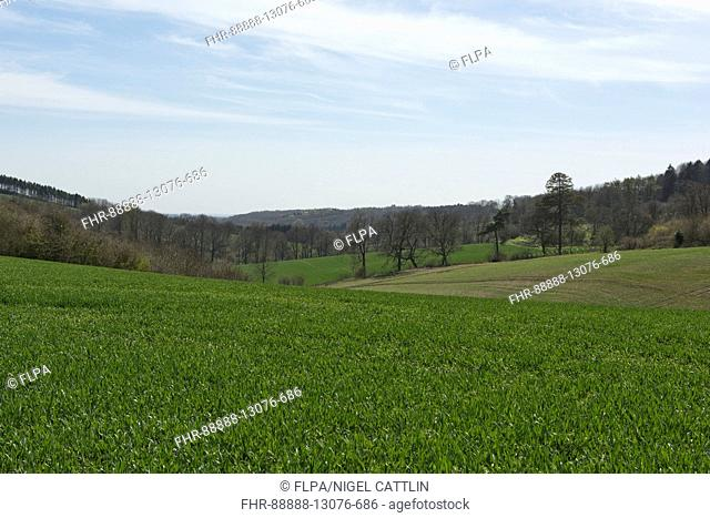 Development of a winter wheat crop from seedling to harvest, spring. Berkshire, April