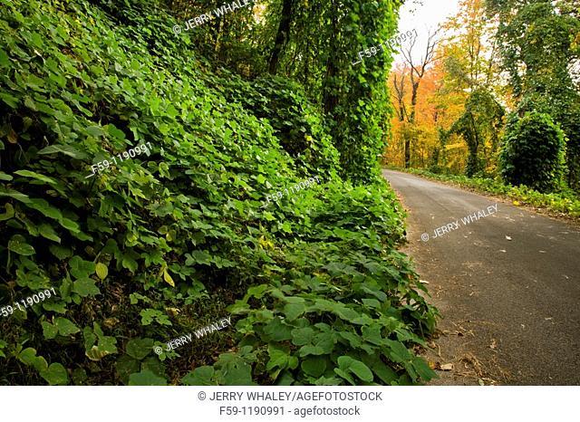 Kudzu, Autumn, Cherokee National Forest, TN