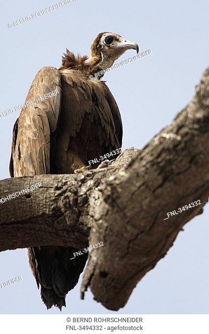 Hooded Vulture, Necrosyrtes monachus, sitting on a branch, Gambia, West Africa, Africa