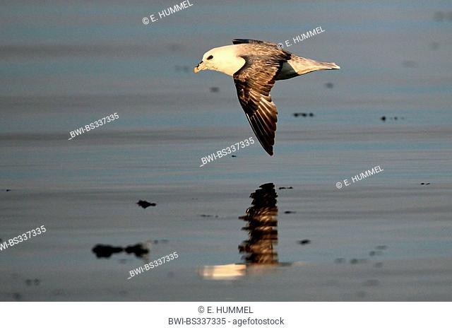 northern fulmar (Fulmarus glacialis), flying over water, Canada, Nunavut