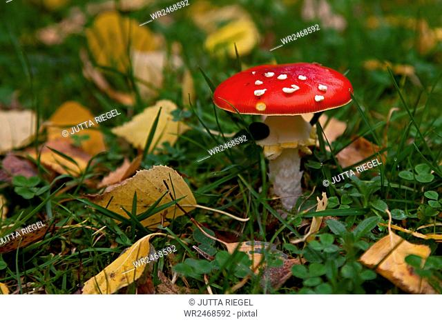Fly agaric between autumn leaves