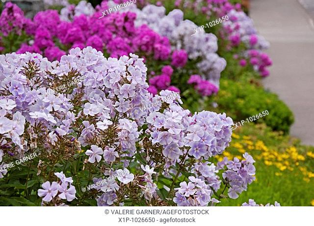 This floral garden shot features light purple summer phlox flowers with magenta phlox in the background and other greenery and sidewalk intentionally blurred in...