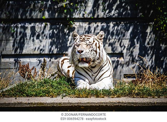 beautiful and powerful white tiger resting in the sun