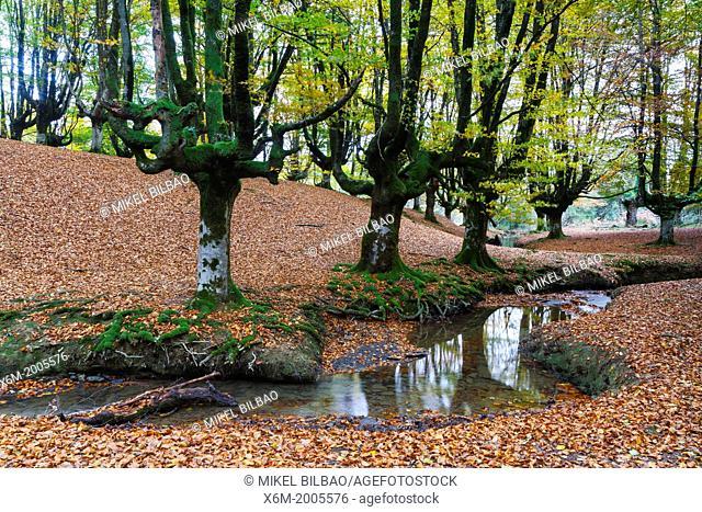 Otzarreta beechwood. Gorbeia Natural Park. Biscay, Basque Country, Spain, Europe