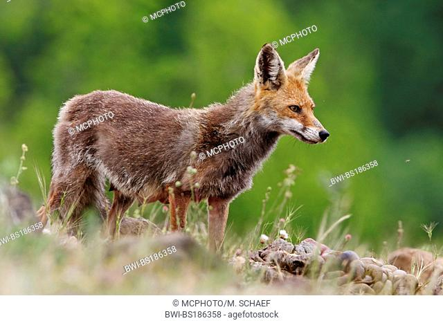 red fox (Vulpes vulpes), female with big teats, Bulgaria, Rhodope Mountains