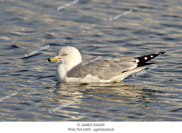 Ring-billed gull Larus delawarensis on the water, Farmington Bay, Utah, United States of America, North America