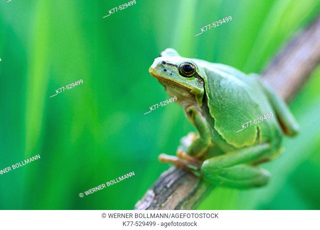 Common Tree Frog (Hyla arborea). Lower Saxony, Germany