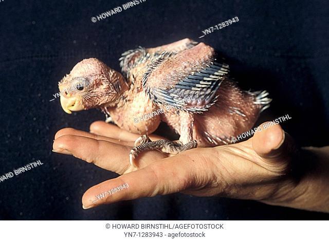 ugly galah chick on hand