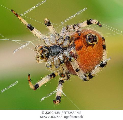 Wasp Spider (Argiope bruennichi) female showing underside and spinneret, Weerribben-Wieden National Park, Overijssel, Netherlands