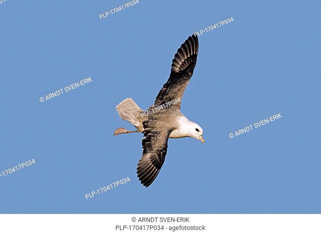 Northern fulmar / Arctic fulmar (Fulmarus glacialis) in flight against blue sky