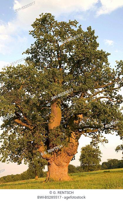 oak (Quercus spec.), old oak in ebening light, Germany, Hesse, Beberbeck