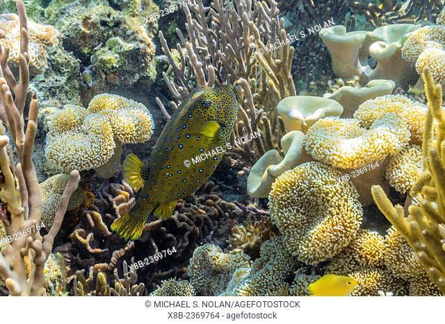 Yellow boxfish, Ostracion cubicus, on the house reef at Sebayur Island, Komodo National Park, Indonesia